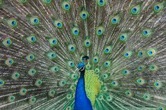Zoo Basel by Heinz Schneider on Peacock Art, Peacock Design, Peafowl, North Carolina Homes, Art Of Beauty, All Birds, Stark, Science And Nature, Natural World