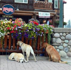 Dog days of summer - eyeing up the Kelsey's patio at Fernie Alpine Resort for some potential snacks. #lovefernie