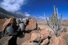 Typical Atacama desert coastal landscape with Eulychnia and Copiapoa cacti near Taltal