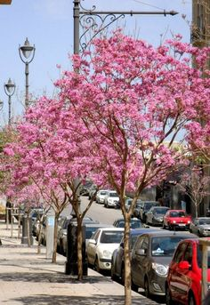 Pink blossoms line the streets of downtown Beirut. At @Four Seasons Hotel Beirut.