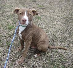 2 / 12    Petango.com – Meet Alfred - 010204i, a 7 months 10 days Terrier, Pit Bull / Mix available for adoption in TUPELO, MS Contact Information Address  2400 S Gloster Street, TUPELO, MS, 38801  Phone  (662) 841-6500  Website  http://www.tupeloleehumane.org  Email  info@tupelo-leehumane.org