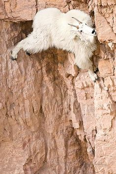 I never did find out how this Mountain Goat, Oreamnos americanus, managed to get down. I was there for more than an hour and it kept licking away at the mineral in the rock. It was a sheer drop below, there was no apparent way up or sideways. But then other's did some amazing feats of climbing that the best mountain climbers would be envious of. Goat Lick Overlook, Glacier National Park   Just hang in there