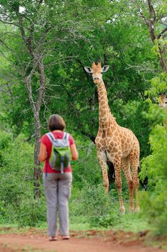 RoyalAuto, July, 2106. Wild kingdom of Swaziland. A giraffe encountered in Mbuluzi Game Reserve. Photo: Alamy. #swaziland #wildlife #giraffe #mbuluzigamereserve