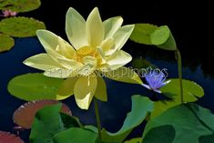 15 best the miraculous lotus flower images on pinterest lotus lotus blossom photograph cream yellow aquatic flower instant download photo bloom nature water pond lagoon wildflower photography mightylinksfo