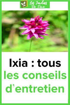 Ixia: tous les conseils d'entretien Plants