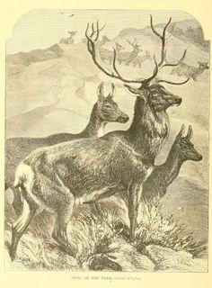 gravures histoire naturelle animaux - gravures histoire naturelle animaux - cerf elaphe - cervus elaphus - Gravures, illustrations, dessins, images