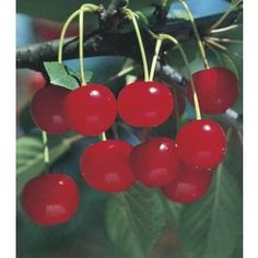 3.8-Gallon Meteor Cherry Tree (L7314) Nursery