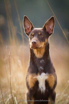 Kelpie. Australian Dog Breeds, Australian Cattle Dog, West Highland Terrier, Baby Puppies, Dogs And Puppies, Dog Photos, Dog Pictures, Australian Shepherds, Scottish Terrier