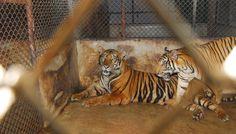 Victorie! Fără animale sălbatice la circ, în România!