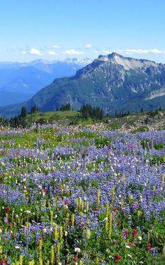 Wild flowers in the Swiss Alps