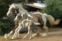 Beautiful dappled gypsy vanner mare and foal.