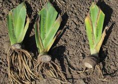 Ирисы: выращивание, уход и размножение — 6 соток