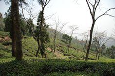 Jungpana garden, Kurseong.