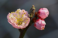 Photo pink plum tree flower by Boris Smokrovic on 500px