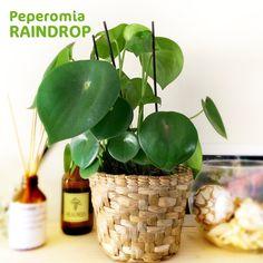 TODA A BELEZA DA RAINDROP! 😍Essa lindinha é a Peperomia polybotrya, ou melhor, a famosa Peperomia Raindrop com seu magnífico formato em gota. 💧Ela tem folhas carnudinhas, bem verdes e brilhantes! É originária da América do Sul, por isso se dá melhor em clima tropical. 🌴Ela é perfeita para ambi Peperomia Polybotrya, Tropical, Gota, Plant Care, Evergreen, South America, Tips, Plants, Leaves