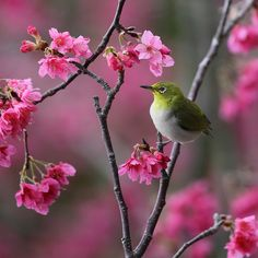 Japanese White Eye More