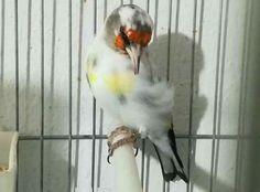 <3 Le Chardonneret le plus beau oiseau  <3  ماشاء الله  Chardonneret Panaché حسون باناشي https://www.youtube.com/+bilelseg https://www.facebook.com/ChardonneretBilelKios/ https://www.instagram.com/bilelkios/ #الحسون #المقنين #القرديل #Chardonnerert #Canari #Mulet #MuletOiseau #Oiseau #Birds #Animaux #Goldfinch #Jilguero #Cardellino #καρδερίνα #Sakakuşu #Chien #Chat #Pigeon #Cheval #Science #Reptile #Poisson #Plantes #Hibiscus #Alger #Algérie #Tunisie #Maroc #ChardonneretGolden #BilelKios