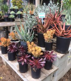 Love these fall colors at Serra Gardens Landscape Succulents Nursery in Fallbrook, California! Celebrate autumn with jewel-toned succulent arrangements and plantings.