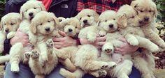 Golden Retriever puppies…..what a handful!!