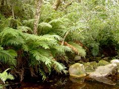 Knysna Forest Photos, a key attraction in South Africa < Tree Fern, Knysna, Cape Town, Ferns, South Africa, Attraction, Flora, Landscapes, Southern