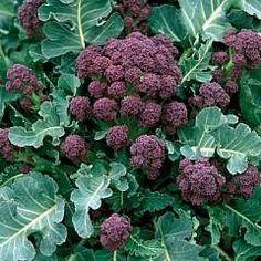 Organic Heirloom Purple Sprouting Broccoli Seeds by kenyonorganics Black Garden, Purple Garden, Purple Plants, Organic Gardening, Gardening Tips, Col Kale, Winter Plants, Potager Garden, Gardens