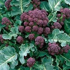 "Organic Heirloom Purple Sprouting Broccoli On my ""must grow"" list."
