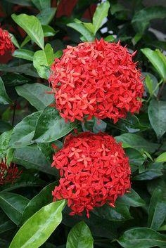 Portal Multiflora: Ixora chinensis