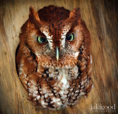 Amazing owl with green eyes