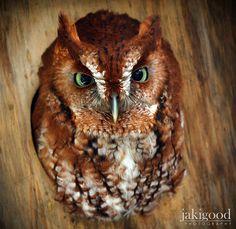 Amazing owl with green eyes