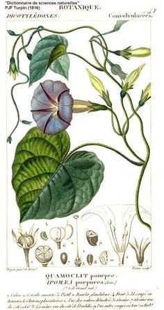 UW-Stevens Point Freckmann Herbarium: Photographs for Ipomoea purpurea (L.) Roth