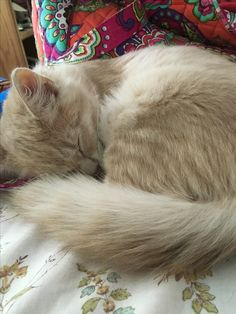Portia is a fluffy kitten looking for a forever home who will promise to brush her.