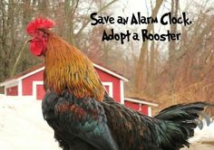 Adopt a rooster