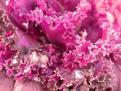 Sandi OReilly - Kale Plant Melting Snow