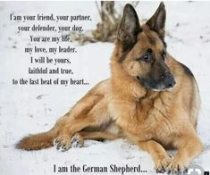 German Shepherd Dogs Yorkshire terriers are a small breed of 'toy pet dogs' weighing a meager seven pounds as adults. Their size is due to their origins as designated vermin killers. Rottweiler, Blue Heelers, Yorkshire Terrier Puppies, German Shepherd Puppies, Funny German Shepherds, Small Breed, Dog Quotes, Working Dogs, Beautiful Dogs