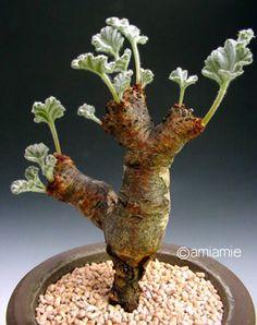 Pelargonium crassicaule