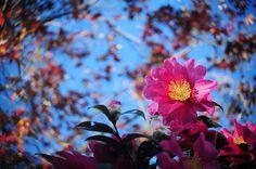 Camellia つばき