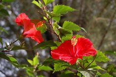 Καλλωπιστικοί θάμνοι - Φυταγορά Σερρών Hibiscus Rosa-sinensis, Aucuba Japonica, Plantar, Vegetable Garden, Rose, Gardens, Growing Herbs, Gardening Tips, Hibiscus