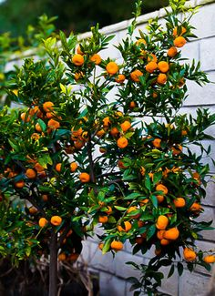 Truth About an Indoor Lemon Tree (Hint: It Belongs Outdoors) The Truth About Indoor Citrus TreesThe Truth About Indoor Citrus Trees Indoor Lemon Tree, Indoor Fruit Trees, Espalier Fruit Trees, Dwarf Fruit Trees, Growing Fruit Trees, Potted Trees, Fruit Plants, Fruit Garden, Edible Garden
