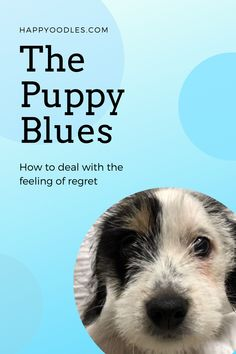 """Getting a puppy is an exciting time, especially if you are a first time puppy parent.  You may have thought about what it would be like to live with a puppy before they came home. Maybe you were dreaming of puppy cuddles and kisses? Why wouldn't you? Puppies portrayed on TV always seem to be so well behaved. But the reality of living with a puppy can be very different from what we see on TV. When this happens people can get the """"Puppy Blues"""". (#newpuppy, #Puppyblues, #puppytraining… Puppy Cuddles, Shih Tzu Puppy, Happy Puppy, Happy Dogs, First Night With Puppy, All About Puppies, Dog Crying, Puppy Socialization, Living With Dogs"""