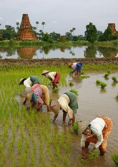 Burmese women are growing rice in the paddy field