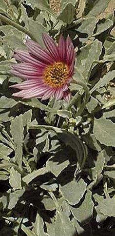 African Daisy (Arctotis stoechadifolia)