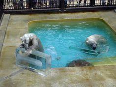 姫路動物園のシロクマに氷のお中元-「ペンギンには?」、気遣う来園客も(写真ニュース)