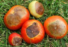 Вершинная гниль томатов: почему появляется и как ее избежать? | Антонов Сад | Яндекс Дзен
