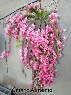 Entre flores: Disocactus