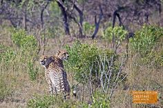Two Cheetahs on the Hunt - South Africa