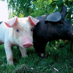 Here are a handful of things to consider about your personal situation that will help you get started with raising pigs on farm land.