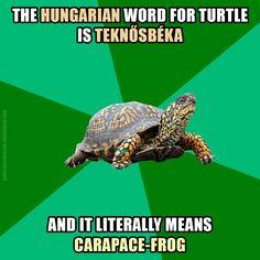 teknősbéka [ˈtɛknøːʃbeːkɑ] – #turtle; tortoise teknő [ˈtɛknøː] – carapace; shell béka [ˈbeːkɑ] – frog #Hungarian #language #magyar