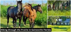 Wild horses and lots of gators on La Chua Trail in Northern Florida