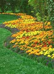 Marigold plants are a very prolific, easy to grow annual flower. Makes nice borders too. Garden Edging, Lawn And Garden, Outdoor Plants, Outdoor Gardens, Beautiful Gardens, Beautiful Flowers, Annual Flowers, Garden Pests, Mellow Yellow