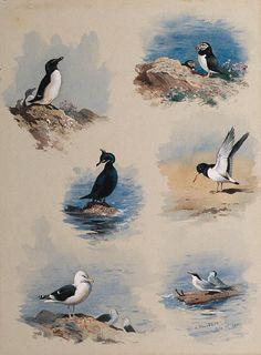 Etudes d oiseaux de mer, aquarelle de Archibald Thorburn (1860-1935, United Kingdom)
